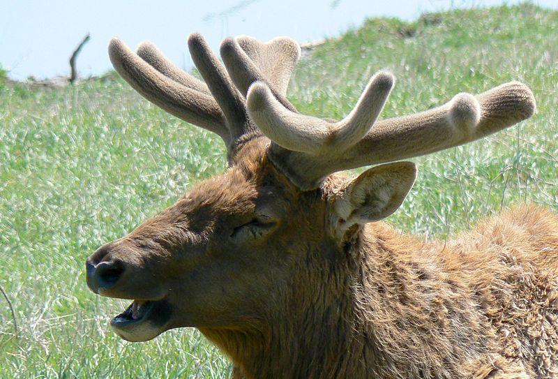 Main Difference - Deer vs Reindeer