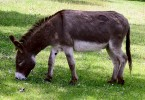 Difference Between Donkey and Mule