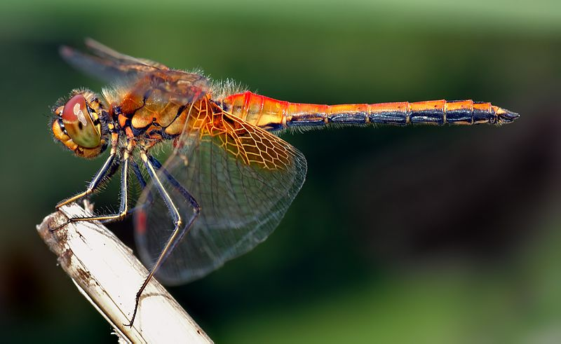 Difference Between Dragonfly and a Damselfly