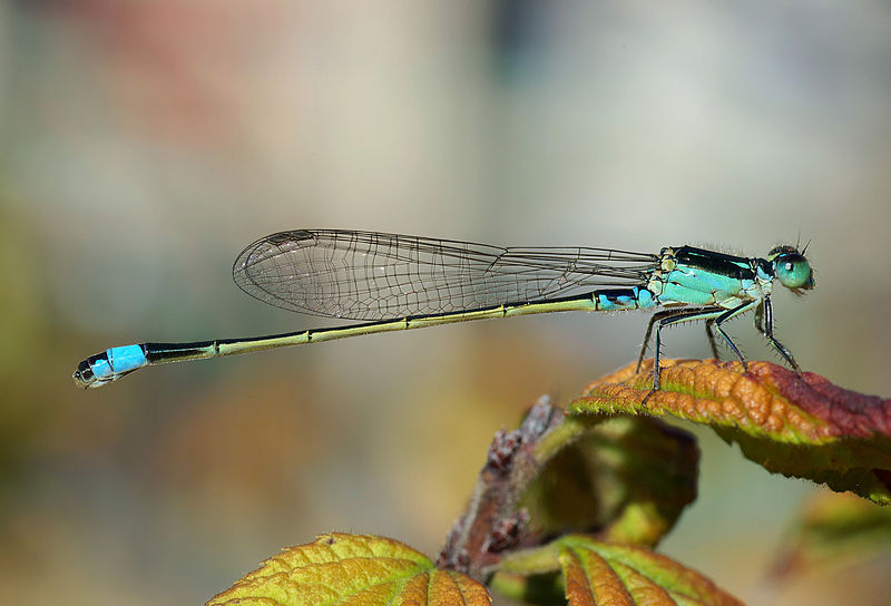 Main Difference - Dragonfly and Damselfly