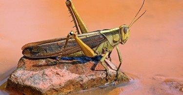 Difference Between Locust and Grasshopper