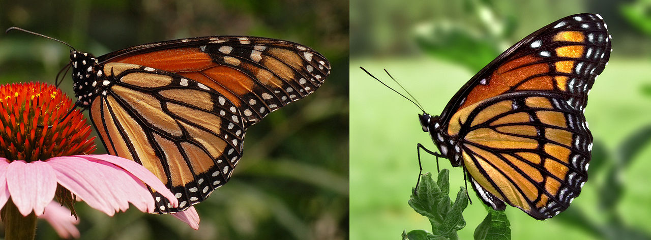 Main Difference - Monarch vs Viceroy Butterfly