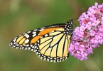 Difference Between Monarch and Viceroy Butterfly