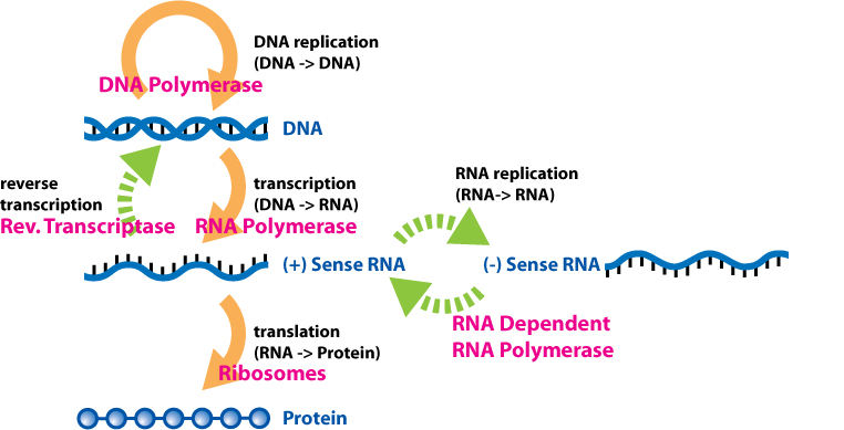 What is the Central Dogma of Molecular Biology