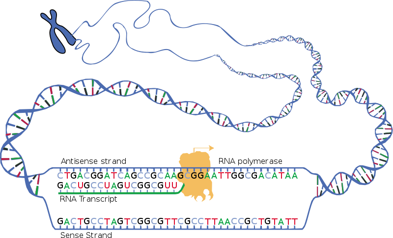 What is the End Product of Transcription_Figure 1