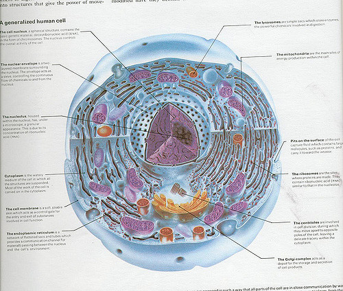 Prime Difference Between Animal Cell And Human Cell Pediaa Com Wiring Digital Resources Indicompassionincorg