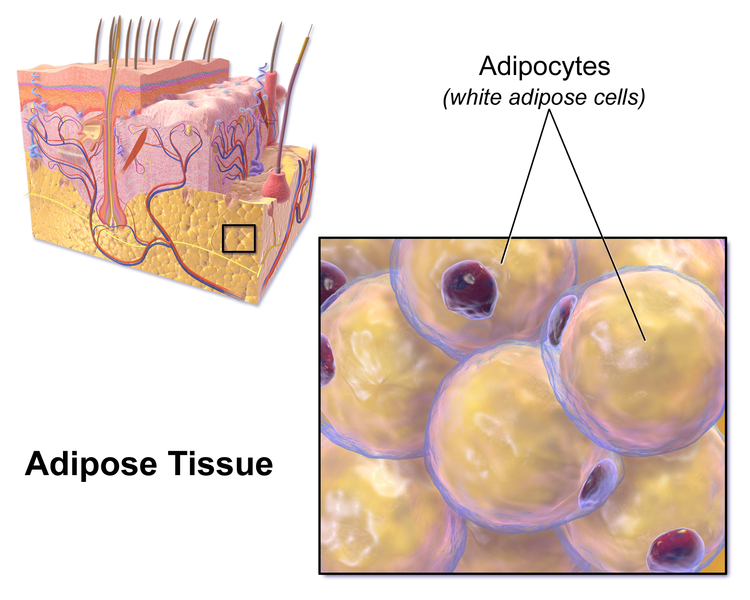 Main Difference - Areolar and Adipose Tissue