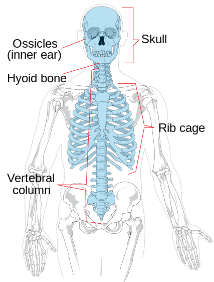 Difference Between Axial And Appendicular Skeleton Pediaa
