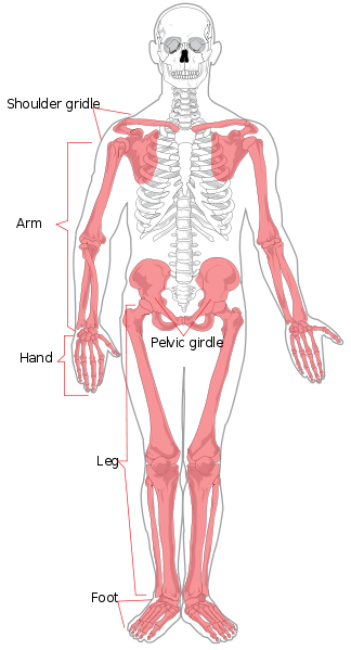 Main Difference - Axial and Appendicular Skeleton