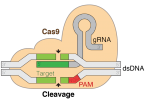 Difference Between CRISPR and Cas9