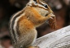 Difference Between Chipmunk and Gopher