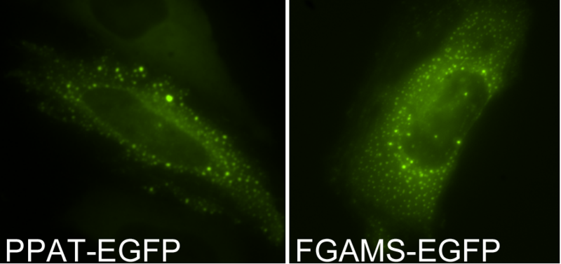 Main Difference - GFP vs EGFP