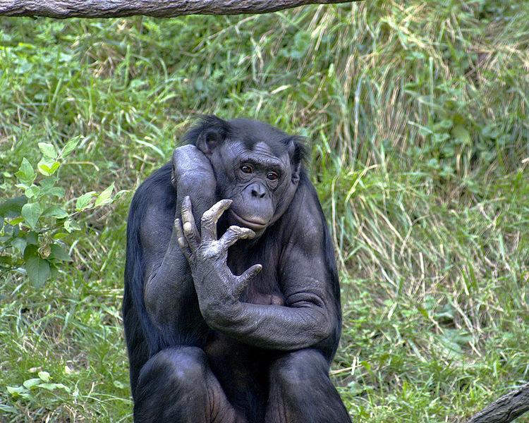 Main Difference - Gorilla and Chimpanzee
