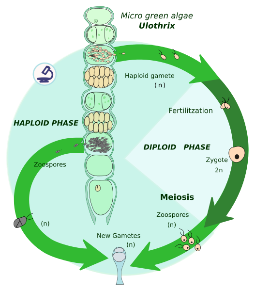 Difference Between Haplontic and Diplontic Life Cycle
