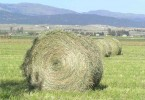 Difference Between Hay and Silage