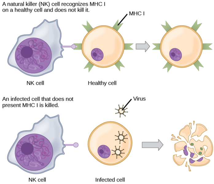 Difference Between Immune Response To Bacteria And Virus