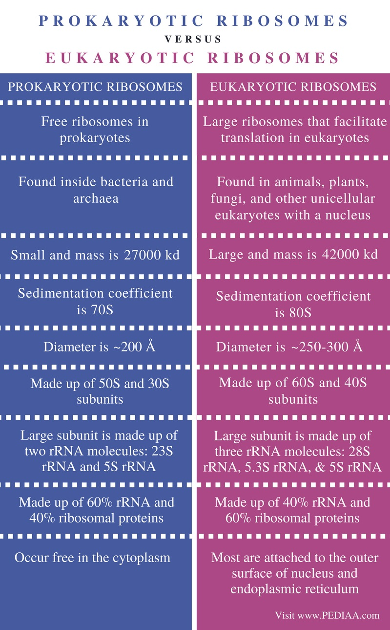 Difference Between Prokaryotic and Eukaryotic Ribosomes - Comparison Summary