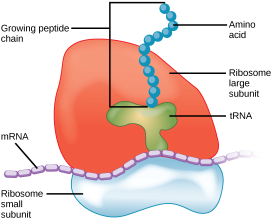 Main Difference - Prokaryotic and Eukaryotic Ribosomes