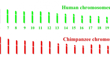 Main Difference - Human and Chimp Genome