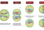 What is the Difference Between Meiosis II and Mitosis
