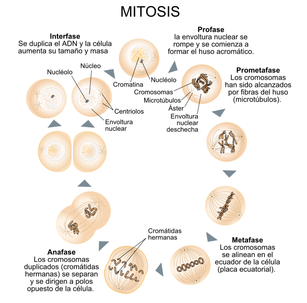 Main Difference - Meiosis II and Mitosis