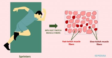 Difference Between Fast Twitch and Slow Twitch Muscle Fibers