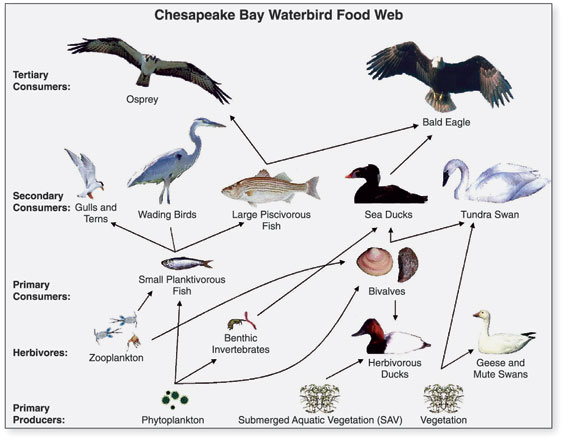 Main Difference - Food Chain and Food Web
