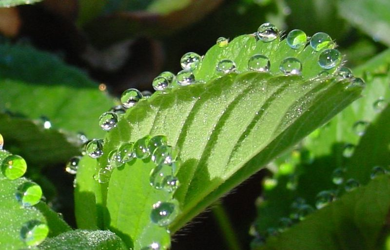 Difference Between Guttation and Transpiration