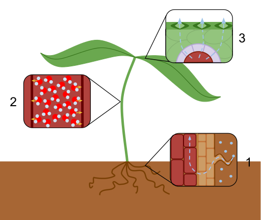 Main Difference - Guttation and Transpiration