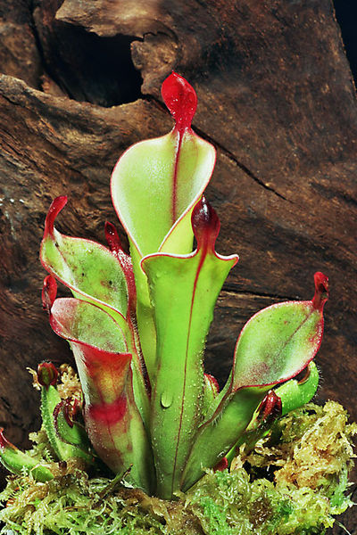 Main Difference - Insectivorous Plants and Symbiotic Plants