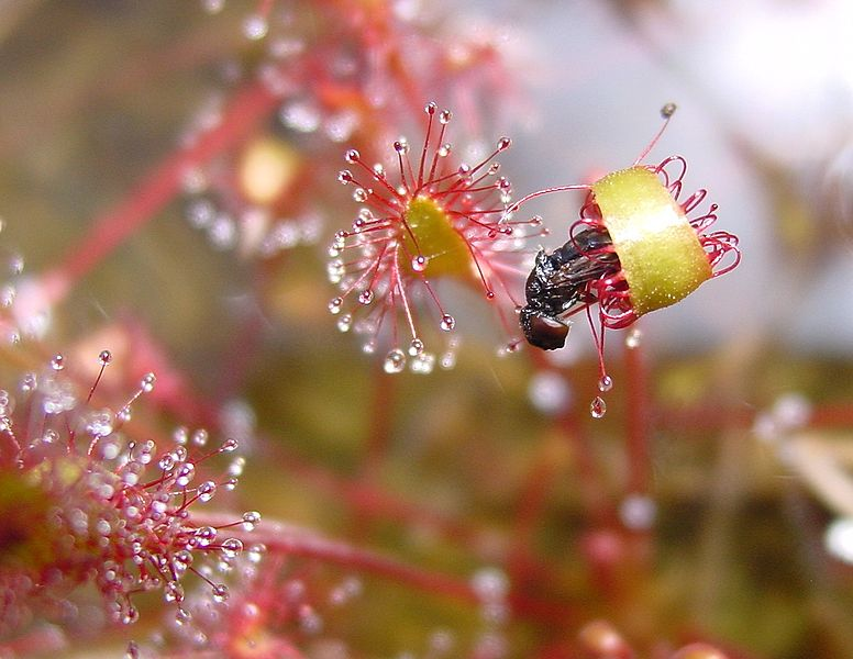 Difference Between Insectivorous and Symbiotic Plants