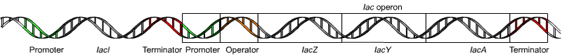 Main Difference - Monocistronic and Polycistronic mRNA
