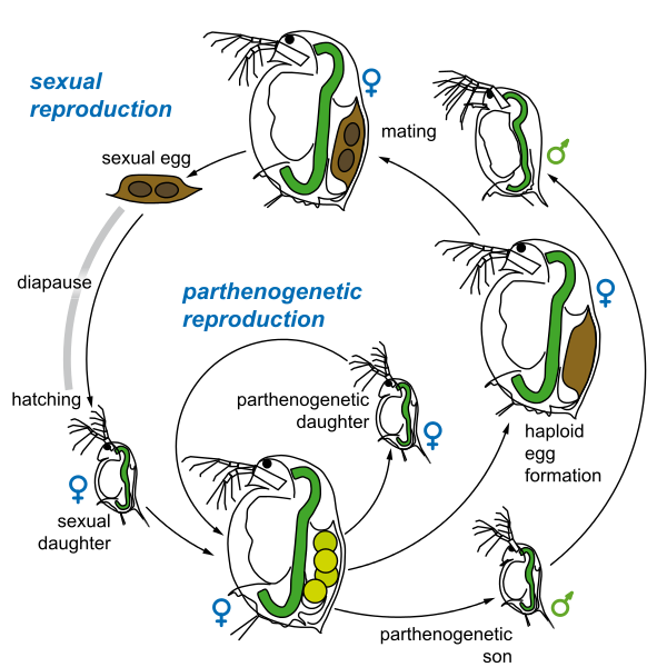 Difference Between Parthenogenesis And Hermaphroditism