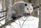 Main Difference - Possum and Opossum