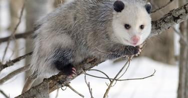 Main Difference - Possum and Opossum