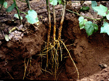 Difference Between Root System and Shoot System