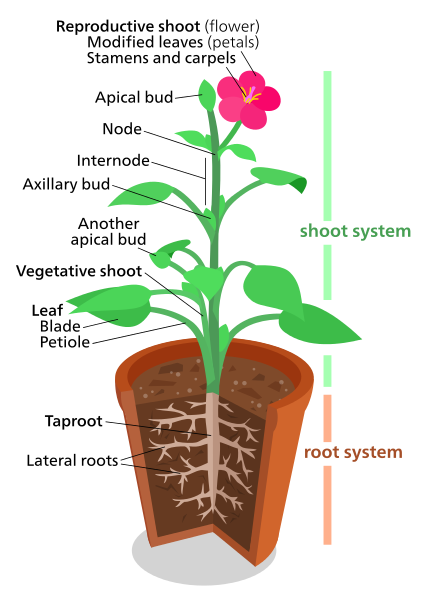 Main Difference - Root System and Shoot System