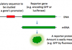 Main Difference - Selectable Marker and Reporter Gene