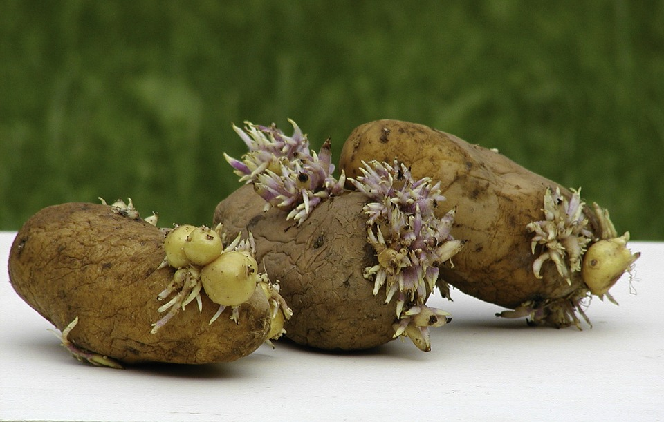Difference Between Stem Tuber and Root Tuber