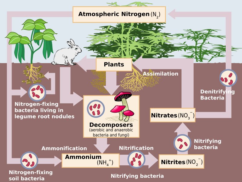 Main Difference - Symbiotic and Non Symbiotic Nitrogen Fixation