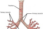 main Difference - Trachea and Bronchi