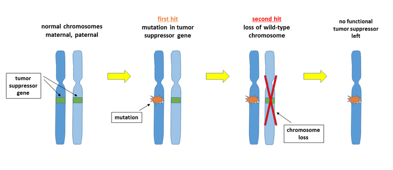 Difference Between Tumor Suppressor Genes and Proto Oncogenes