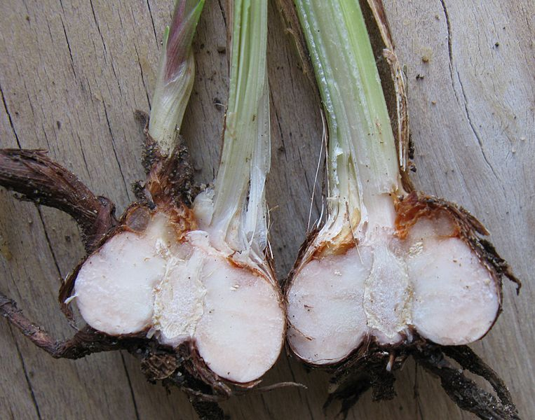 What is the Difference Between Bulbs Corms Tubers and Rhizomes - Corms