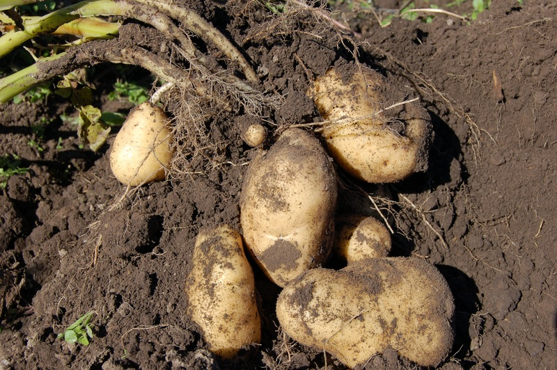 What is the Difference Between Bulbs Corms Tubers and Rhizomes - Tubers