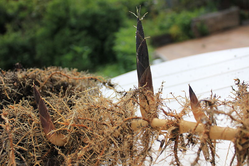 What is the Difference Between Bulbs Corms Tubers and Rhizomes - Rhizomes