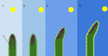 Difference Between Auxin and Gibberellin