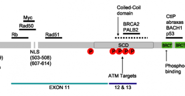 Difference Between BRCA1 and BRCA2 Gene