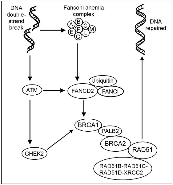 Main Difference -  BRCA1 and BRCA2 Gene