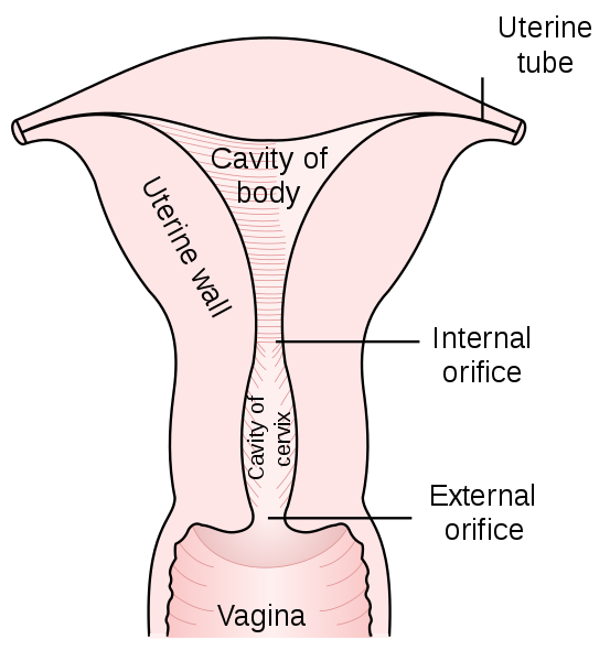 Difference Between Cervix and Uterus