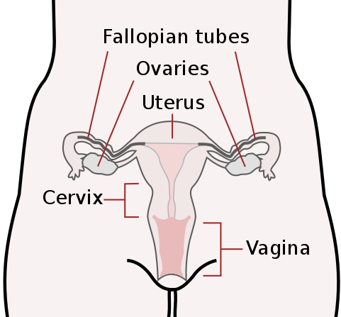 Main Difference - Cervix and Uterus
